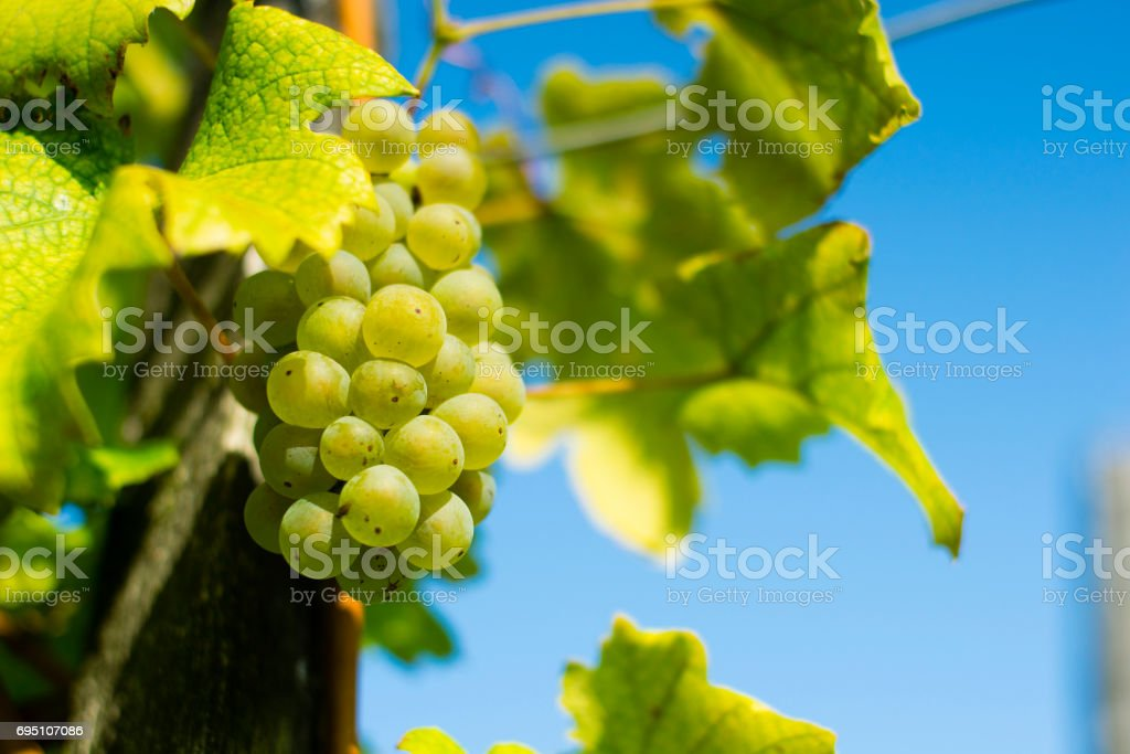 Vineyard autumn stock photo