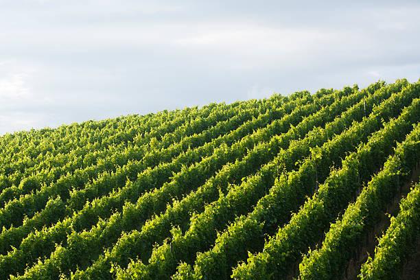 vineyard background stock photo