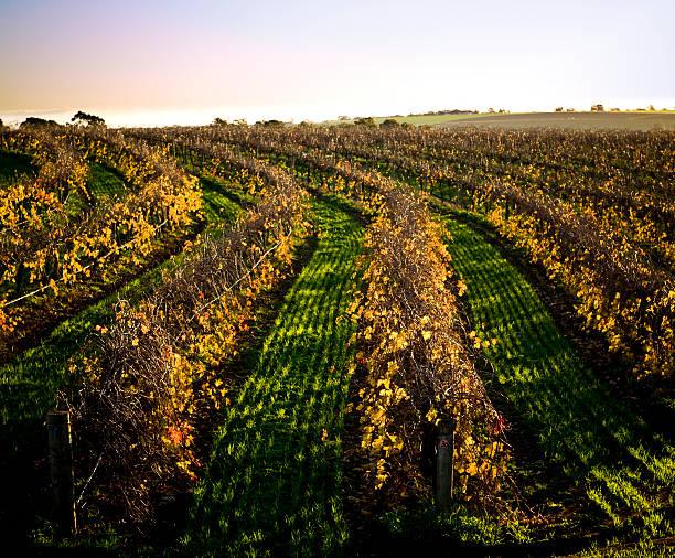 Vineyard Barossa Valley autumn leaves stock photo