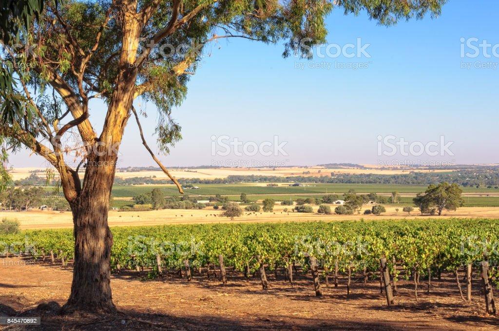 Vineyard - Barossa Valley stock photo
