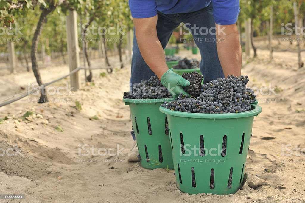Vineyard baskets with picker royalty-free stock photo