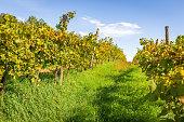 istock Vineyard blossom in Slovenia 1289354072