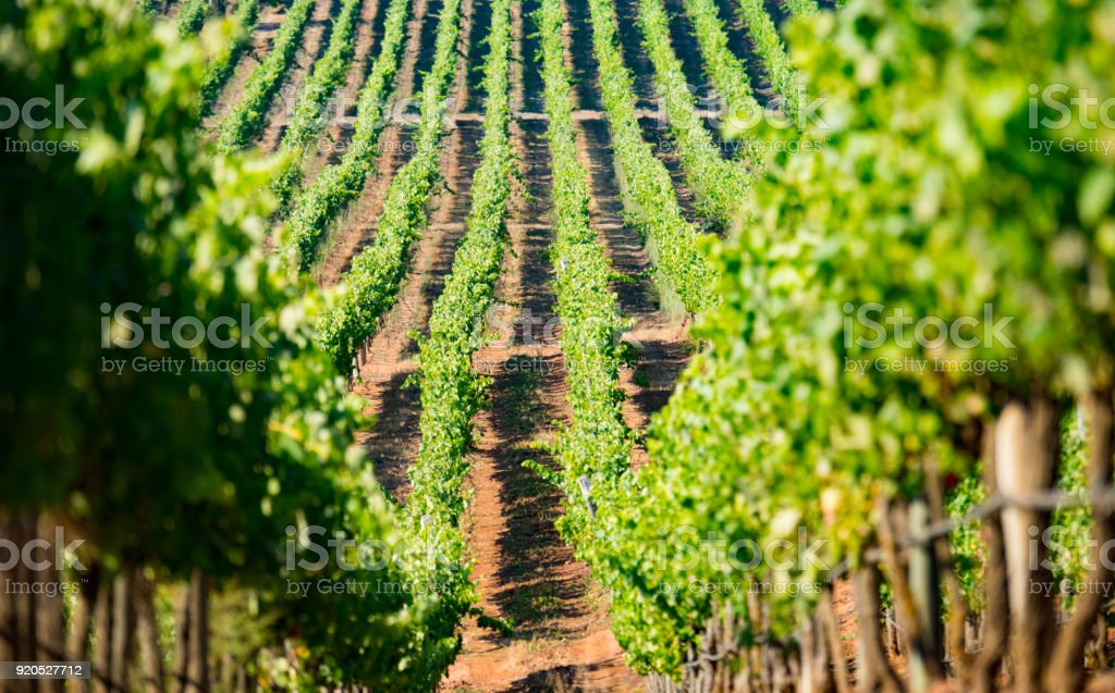 Vineyard close to coast in Chile - foto stock