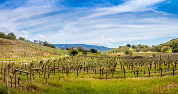 Vineyard Cloth stock photo