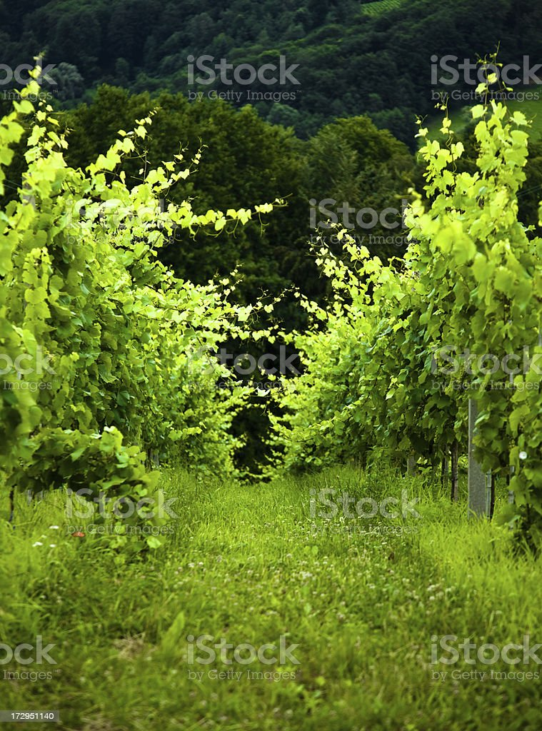 Vineyard contryside royalty-free stock photo