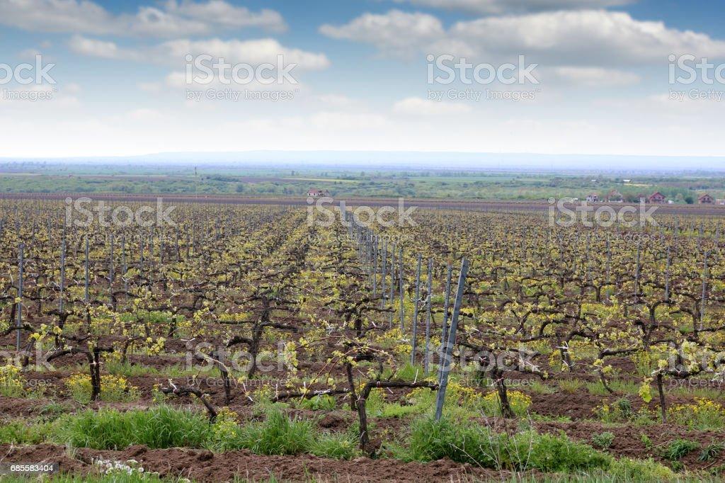 Vineyard  country landscape spring season 免版稅 stock photo