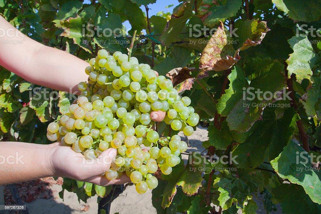 Vineyard crop royalty-free stock photo