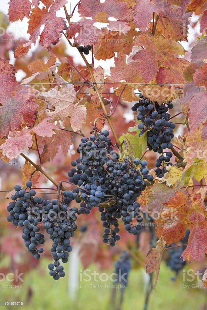 vineyard, Czech Republic royalty-free stock photo