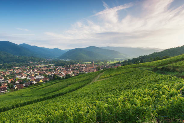 Vineyard during sunset (alsage) - foto stock