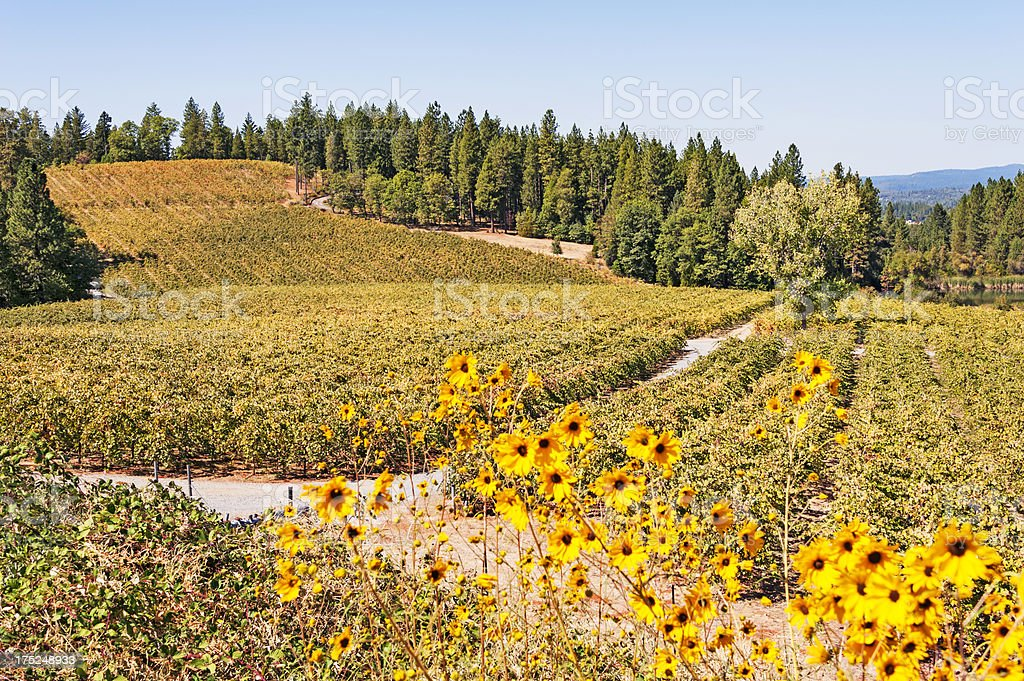 Vineyard Eldorado County royalty-free stock photo