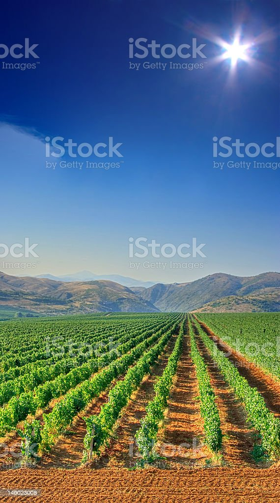 Vineyard field in Macedonia royalty-free stock photo