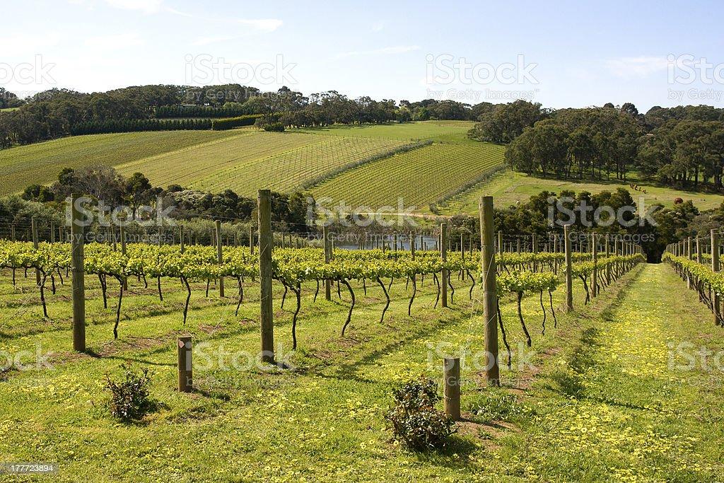 Vineyard field in summertime  stock photo