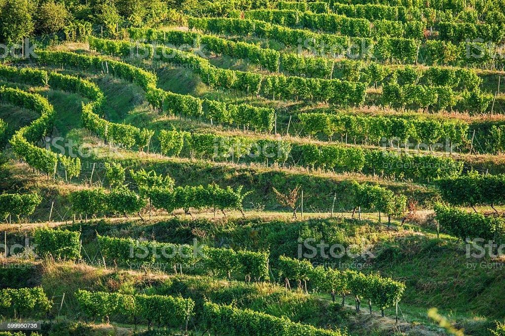 Vineyard Fields in Summer stock photo