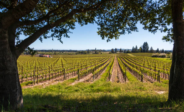 A vineyard framed by trees stock photo