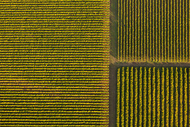 Vineyard from Above stock photo