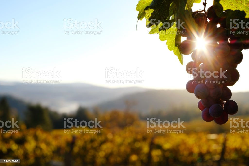 Vineyard Grapes at Dawn stock photo