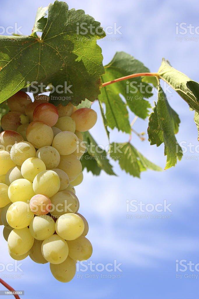 Vineyard, Grapes royalty-free stock photo