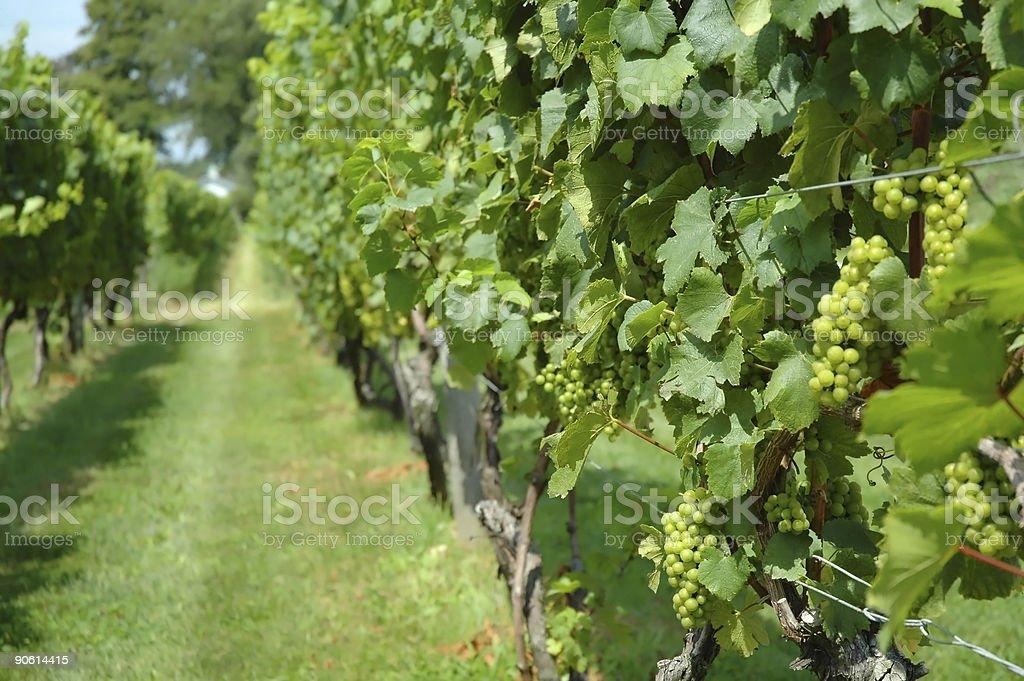 Vineyard Grapes stock photo
