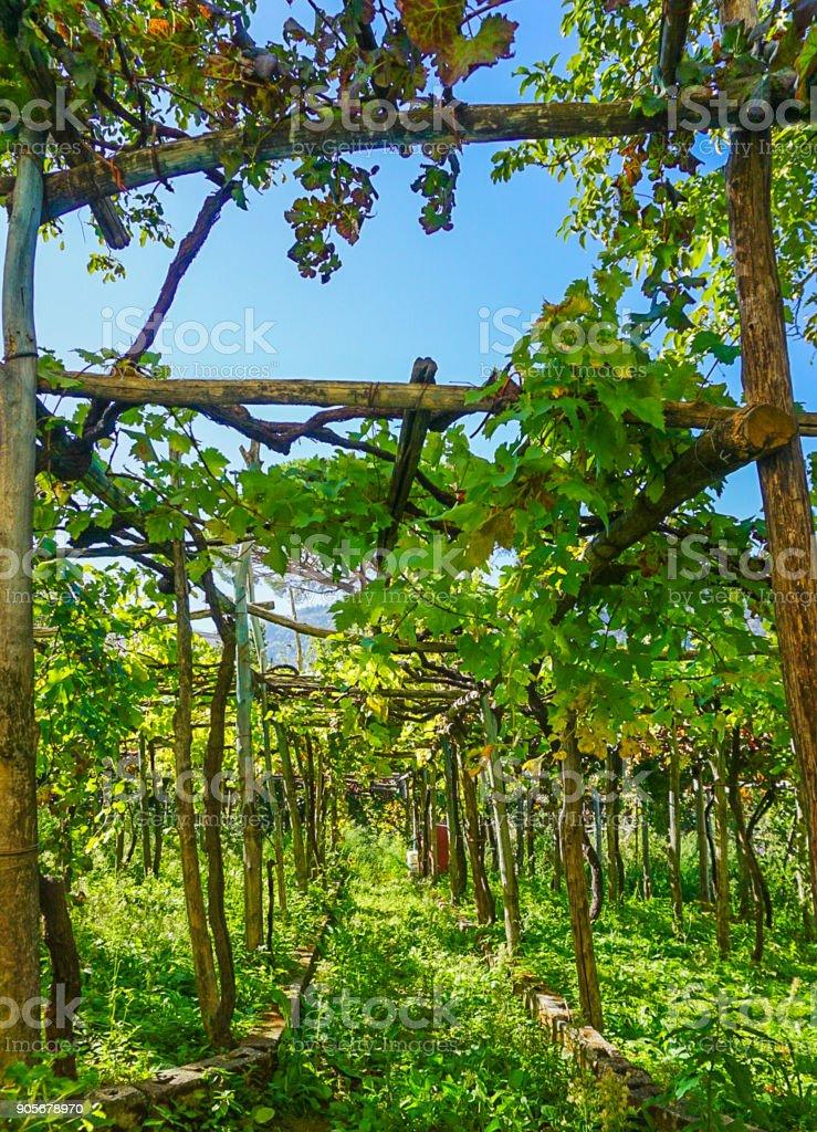 A Vineyard Grove of Ravello, Italy stock photo