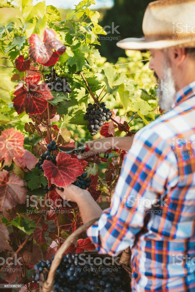 Vineyard Harvest stock photo