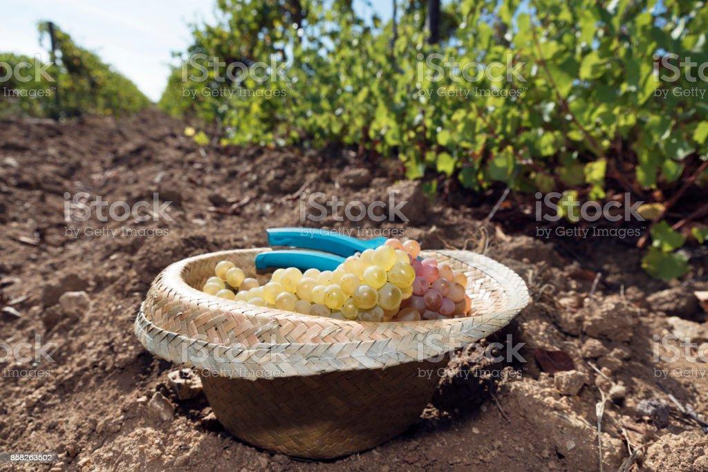 Vineyard Harvesting Straw Hat Ground Full Amber Grapes stock photo