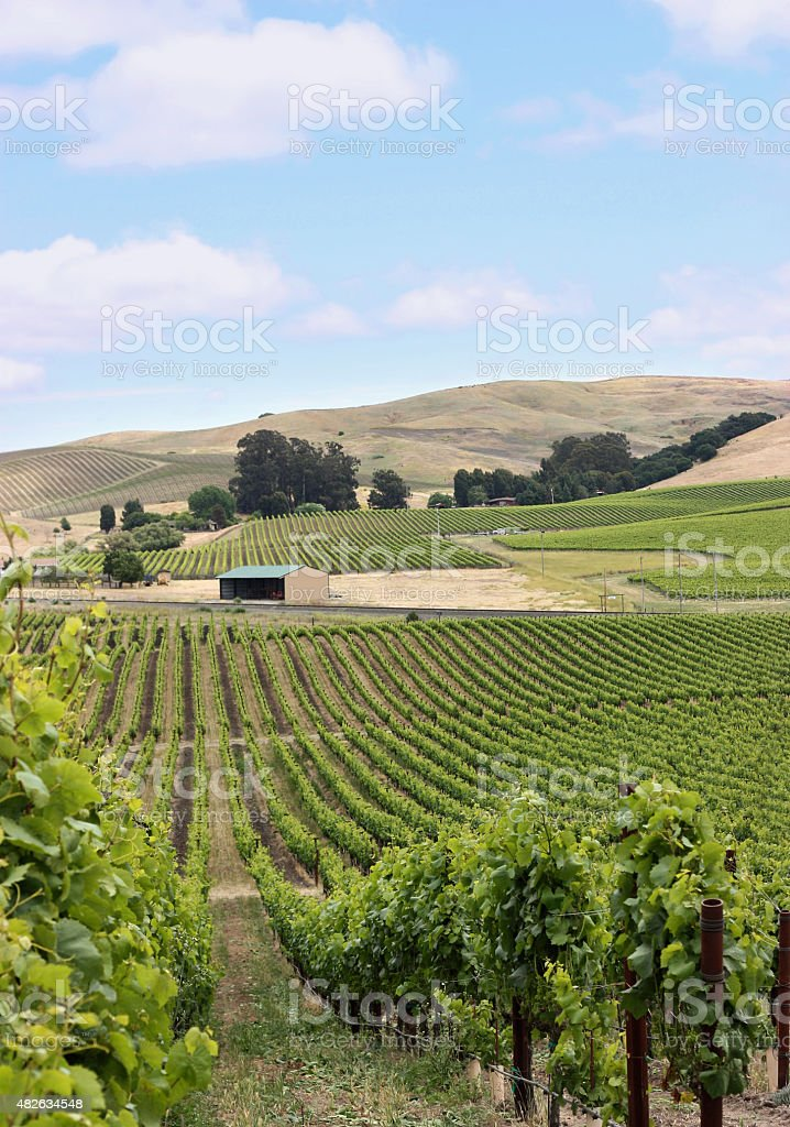 Vineyard hill in napa valley stock photo