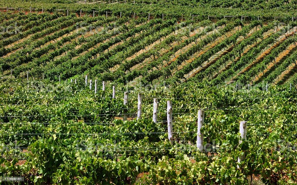 Vineyard Hunter Valley royalty-free stock photo