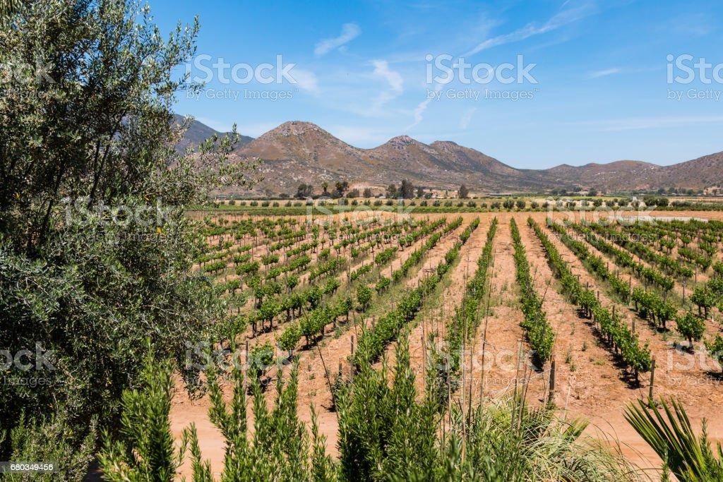Vineyard in a Valley in Ensenada, Mexico - foto de stock