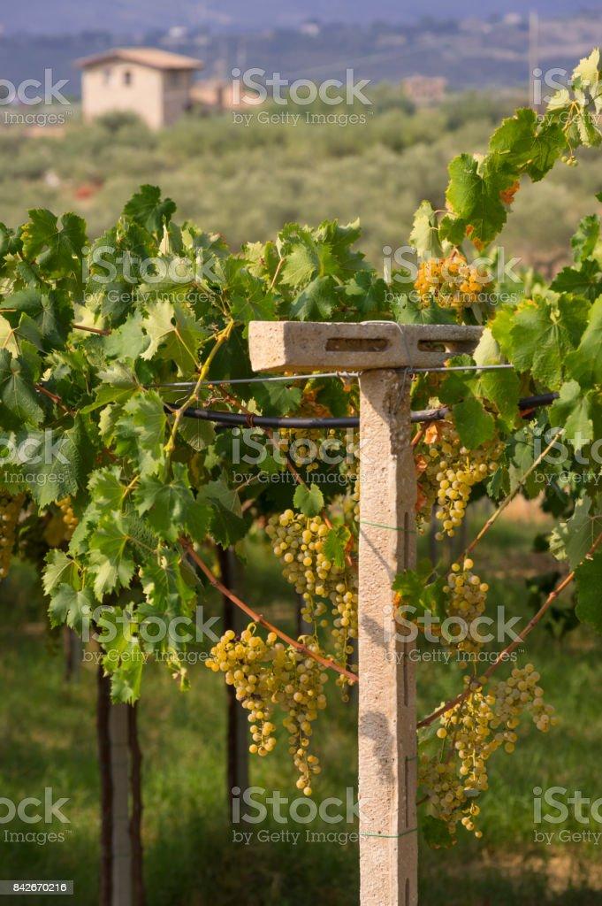 Vineyard In Abruzo Italy Europe At Summer Stock Photo