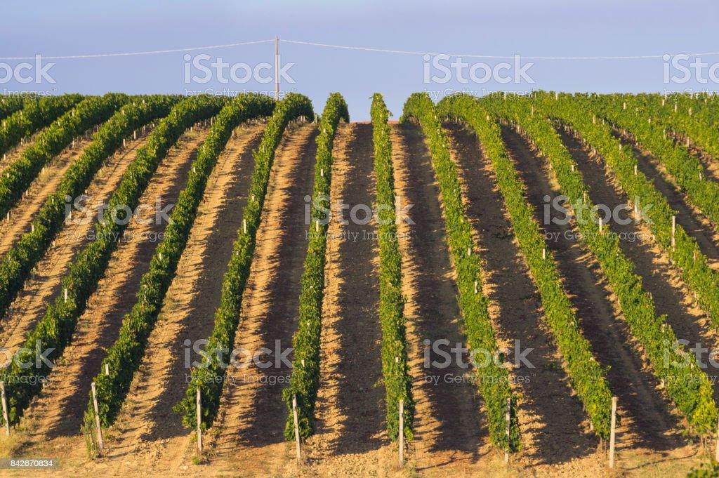 Vineyard in Abruzo, Italy, Europe at summer stock photo