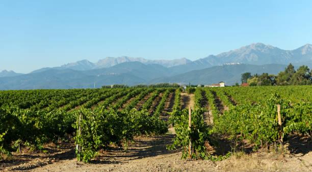 vineyard in Aleria plain - Photo