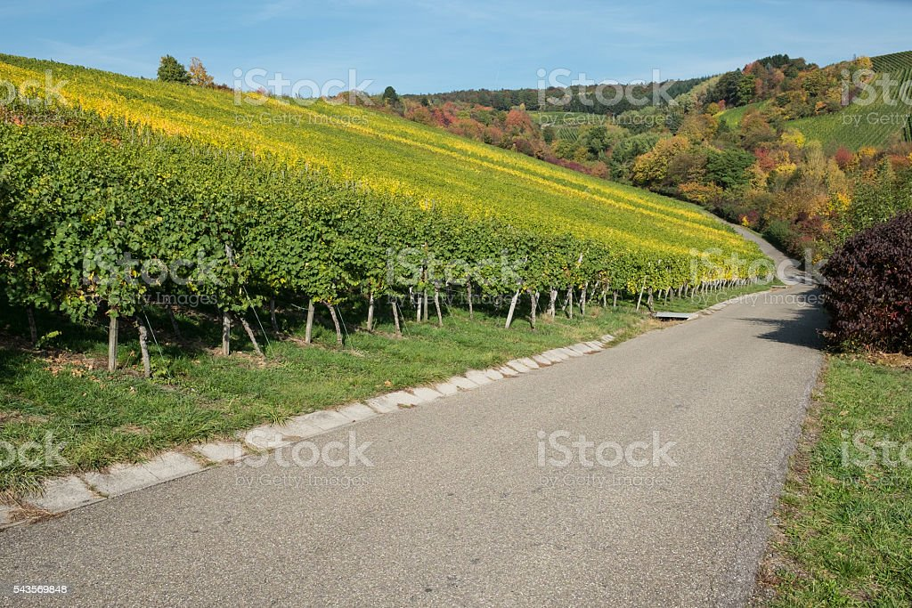 Vineyard in autumn colouring stock photo