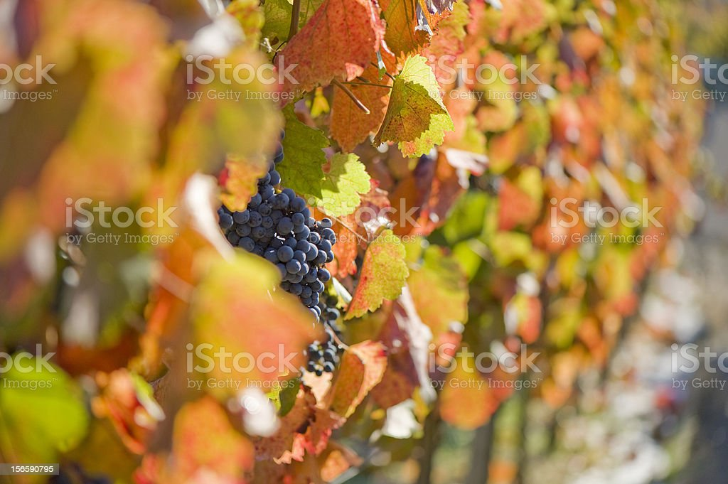 vineyard in autumn / fall royalty-free stock photo