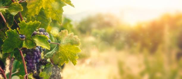 Vineyard in autumn harvest stock photo