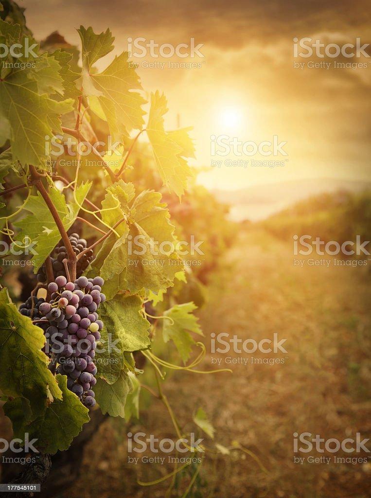 Vignoble dans la récolte d'automne - Photo