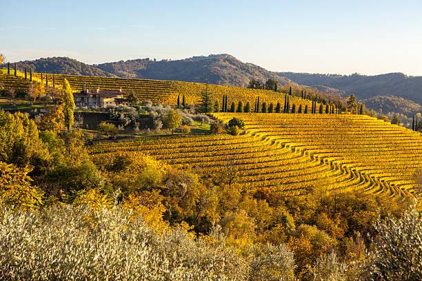 vineyard in autumn in collio region, italy - friaul julisch venetien stock-fotos und bilder