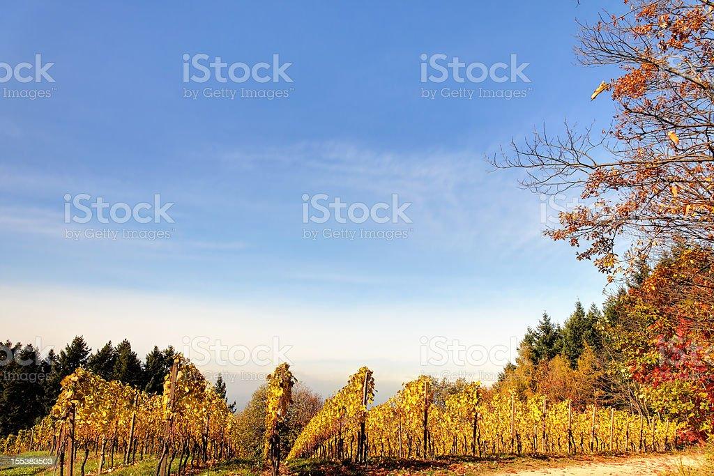 vineyard in autumn light royalty-free stock photo