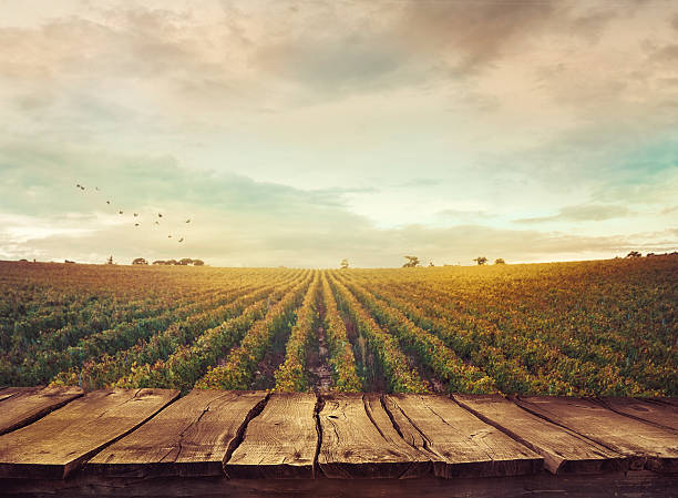 vineyard in autumn - field stock photos and pictures