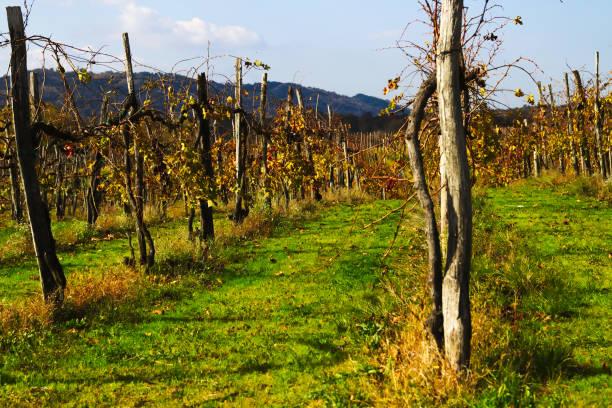 Vineyard in Autumn Vineyard in autumn university of missouri columbia stock pictures, royalty-free photos & images