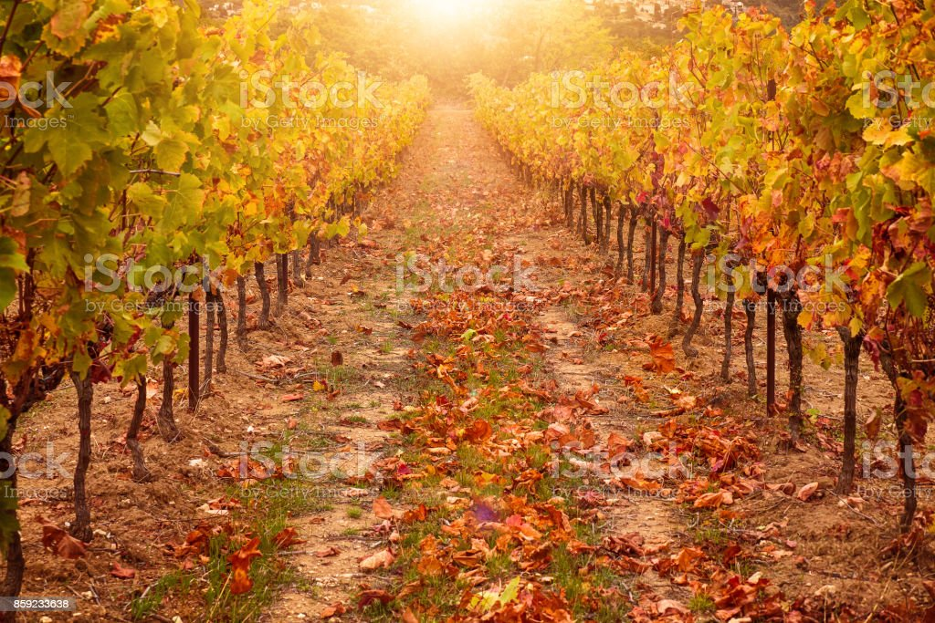 Vineyard in autumn, with sunlight creating warm, golden tones on orchard scene. Saturated color. Provence, France in October. stock photo
