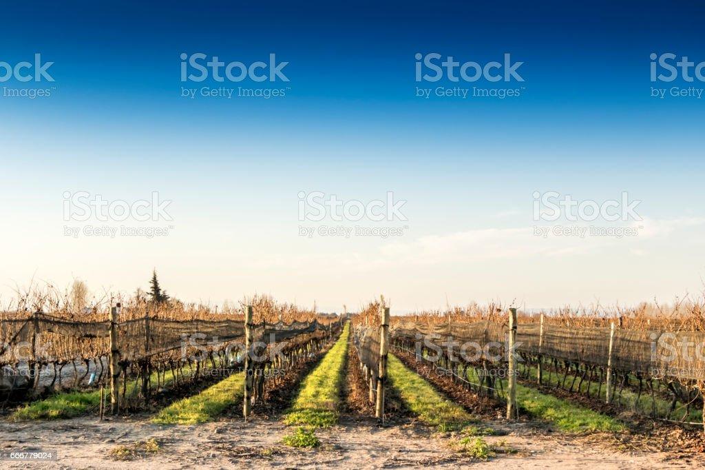 Vineyard in autumn-winter stock photo