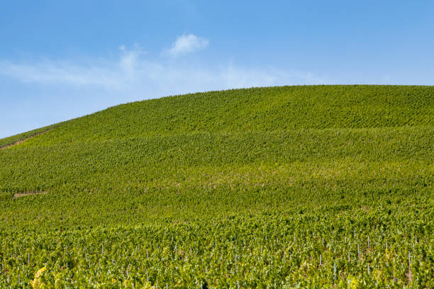 Vineyard in Ay stock photo