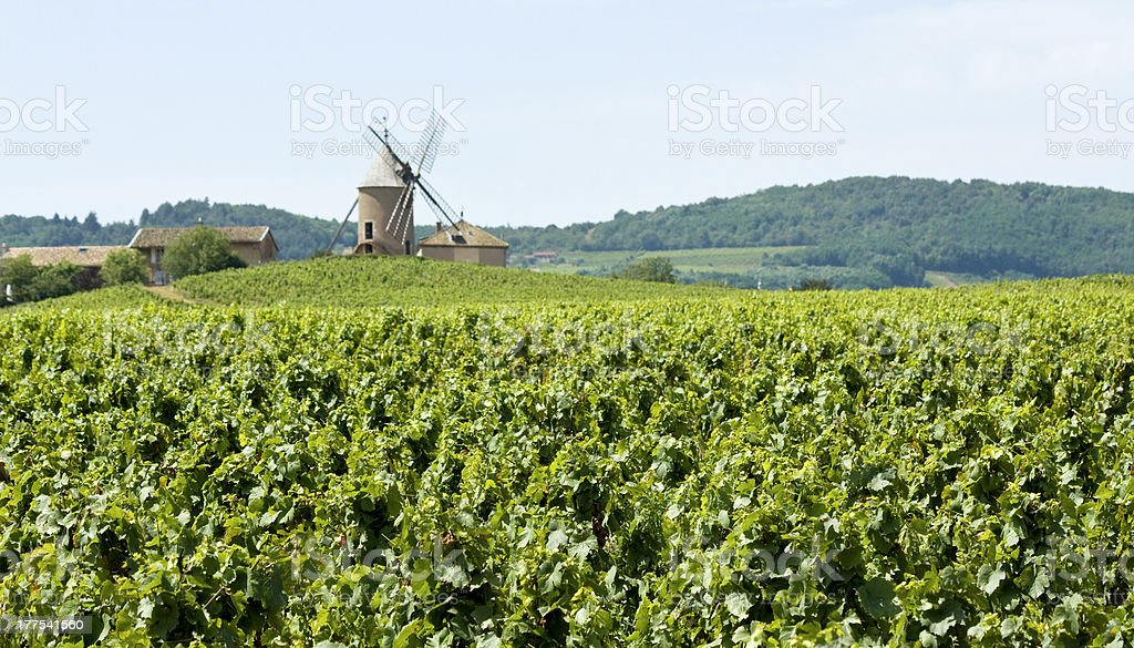 Vineyard, in Beaujolais. Old Windmill. France stock photo