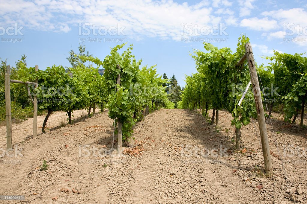 Vineyard in British Columbia Canada stock photo