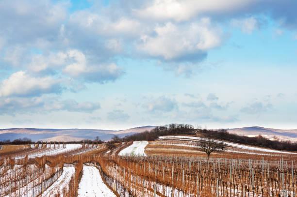 weinberg im burgenland im winter mit schnee - burgenland stock-fotos und bilder