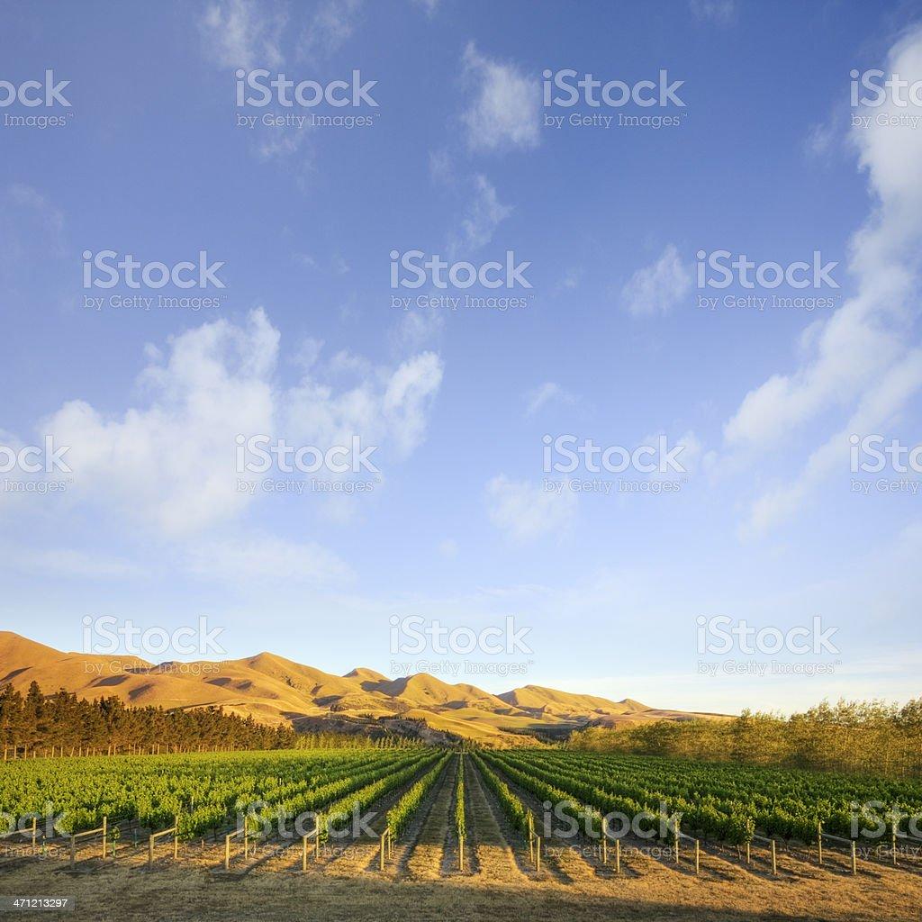 Vineyard in Canterbury, New Zealand royalty-free stock photo