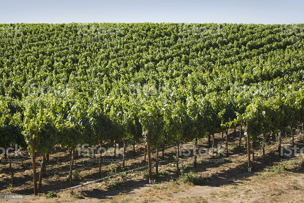 Vineyard in Carneros Valley royalty-free stock photo