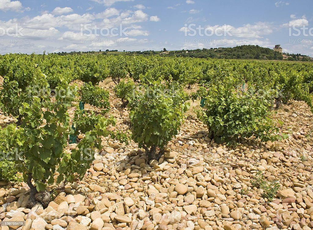 Vineyard, in Chateauneuf-du-Pape. Provence stock photo