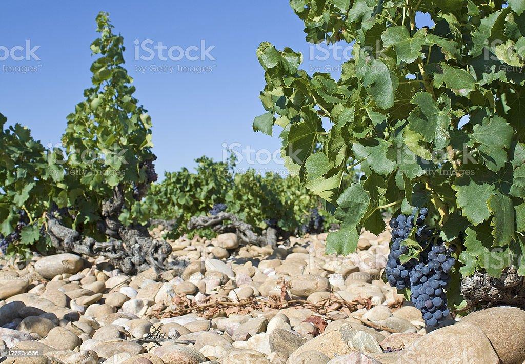 Vineyard, Châteauneuf-du-Pape. Provence. - Photo