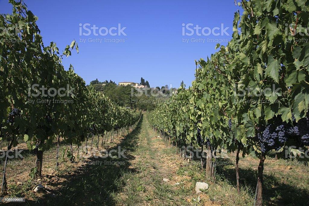 Vineyard in Chianti Row stock photo